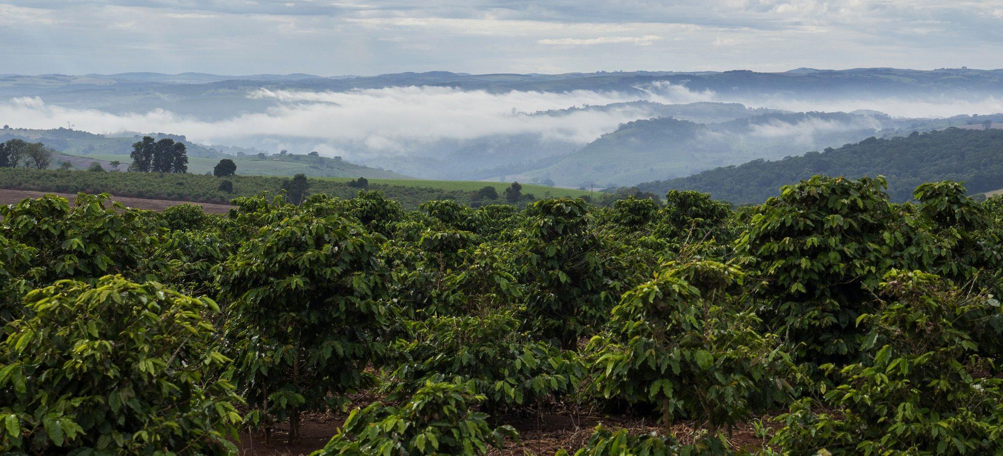 Quintessentially Brazilian: Coffee
